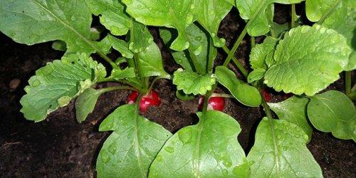 Potager : 10 légumes inratables pour jardinier débutant