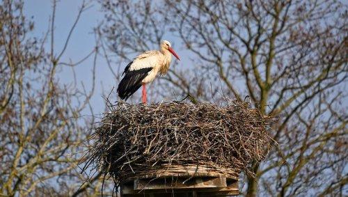Moselle. Trois bébés cigognes tombent du nid et meurent après un gros coup de vent