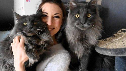 VIDÉO. Éleveuse de chats, Sarah vit sa passion à domicile