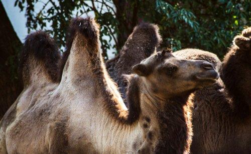 Le chameau, mammifère du désert à deux bosses