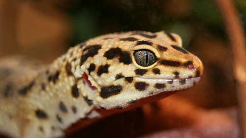 Un important trafic de reptiles démantelé aux Antilles