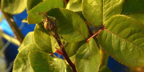 Puceron du rosier : comment traiter naturellement ?