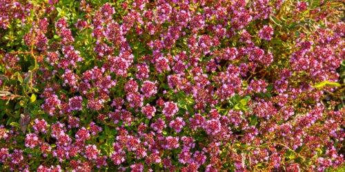 10 couvre-sols vivaces, idéals pour protéger et embellir son jardin