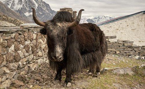 Le yack, bovidé aux longs poils d'Himalaya