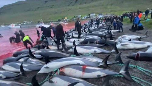 Aux Îles Feroé, 1 428 dauphins abattus lors d'une chasse