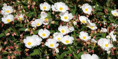 12 plus belles fleurs d'hiver pour embellir son jardin
