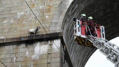 Laval. Deux chèvres coincées sur le viaduc sauvées par les pompiers