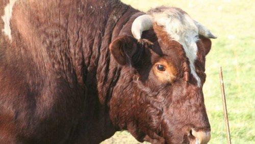 Près de Cherbourg, un fermier gravement blessé par son taureau