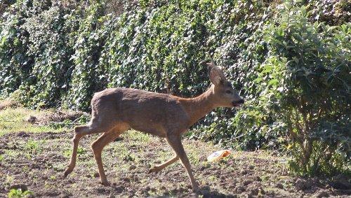 Un chevreuil a séjourné dans le terrain d'un particulier à Pordic