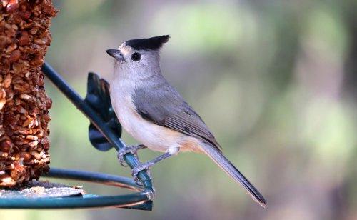 Mangeoire à oiseaux : comment la choisir en fonction de l'espèce ?