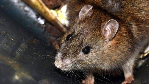 Les rats pullulent à Nantes