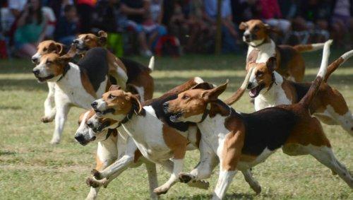 VIDÉO. La meute de chiens de chasse dévore deux chats : panique dans un lotissement près de Rennes