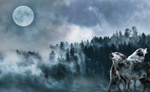 Pourquoi dit-on que le loup hurle à la lune ?