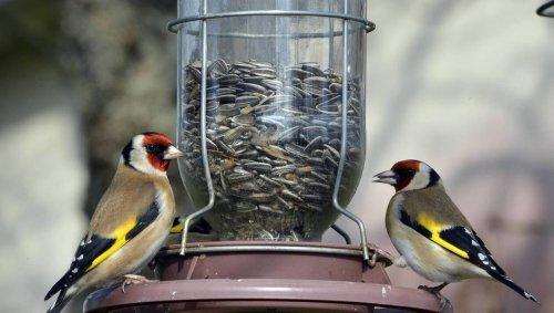 Le procès du trafic de chardonnerets, ces oiseaux revendus jusqu'à 1 000 €, est reporté au 4 mars