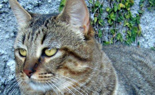 Le Pixie-bob : caractère, éducation, santé, prix | Race de chat