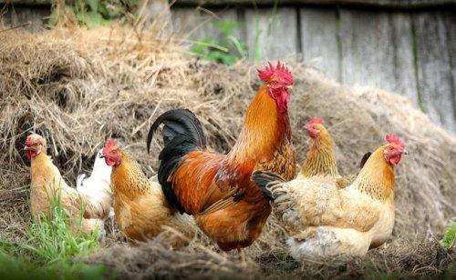 Accueillir et élever des poules : 6 erreurs à ne pas faire