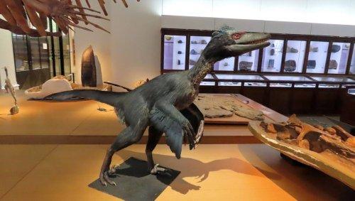 Bientôt un vélociraptor au muséum d'histoire naturelle de Nantes