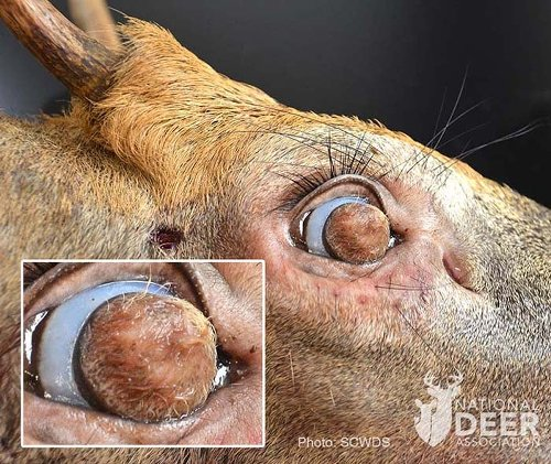 The Buck With The Hairy Eyeballs