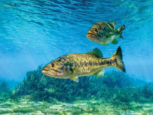 The Science on Why Bass Are Getting Harder to Catch
