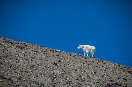 A Mountain Goat Killed a Grizzly Sow in British Columbia, Experts Confirm