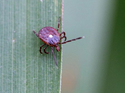 How to Identify These 10 Tick Species