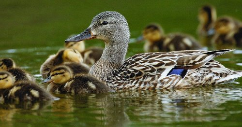 The Annual North American Waterfowl Breeding Survey Is Canceled—Again. Here's What It Means for Hunters