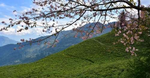 Have You Been to Sikkim's Only Tea Garden?