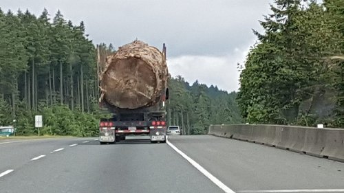 An Old Growth Tree Was Logged. Nobody Will Own Up To It.