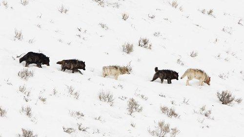 Fact-Checking Idaho's Wolf Eradication Law