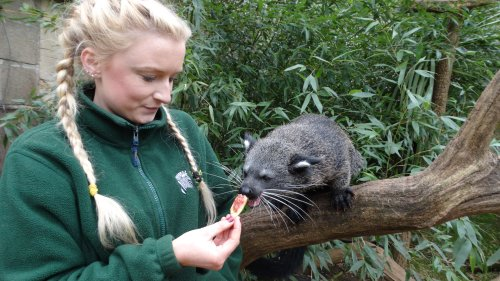 Meet this baby Binturong who smells like buttered popcorn