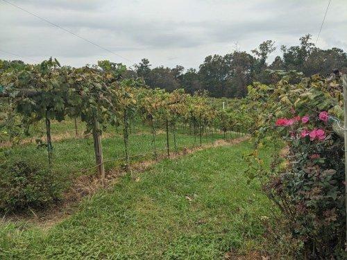 Vineyards Near Atlanta: 4 Vineyards Less Than An Hour From Atlanta
