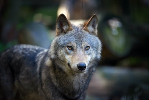 Grow Your Wolf Pack With One of These 15 Gorgeous Wolf Dog Breeds