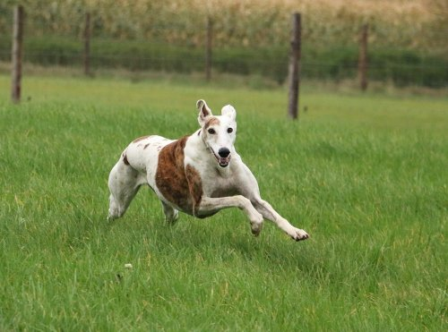These 30 Super-Fast Dog Breeds Are So Quick It's Almost Im-Paw-sible to Believe
