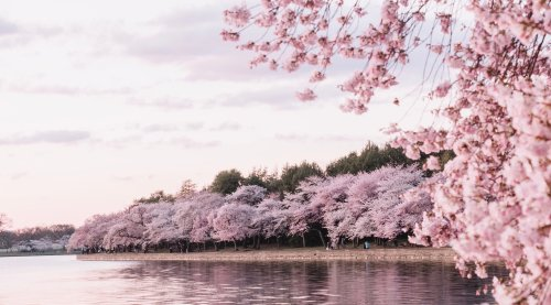 It's Cherry Blossom Season! Celebrate Spring's Iconic Pink Blooms With These 35 Fun Facts