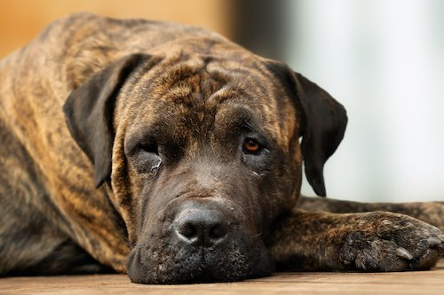They Can Bark and They Can Howl, But Can Dogs Cry? Here's What Veterinarians Say