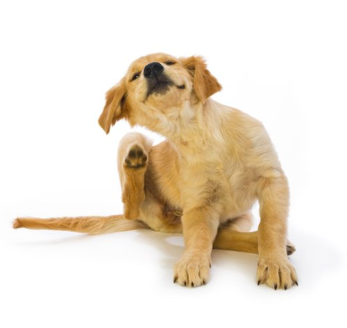 No Fleas, Please! How to Get Rid of Fleas on Dogs At Home With Natural Remedies