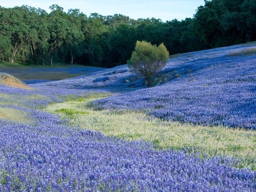Fields Of Purple: CA Photo Of The Day