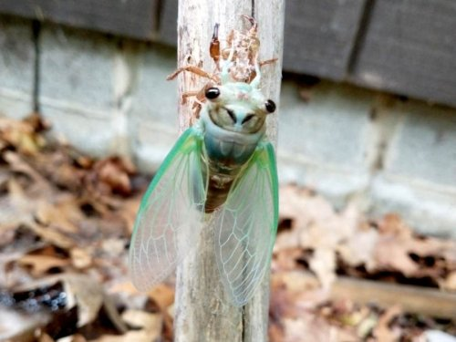'They Like To Scream': Dog-Day Cicadas Emerge In MD, Elsewhere