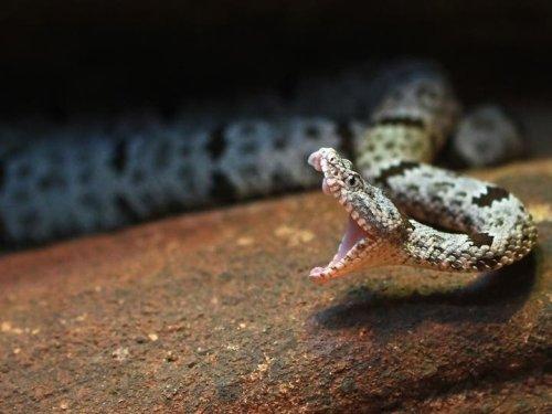 Rattlesnake-Bite Victim Airlifted To Hospital From Desert