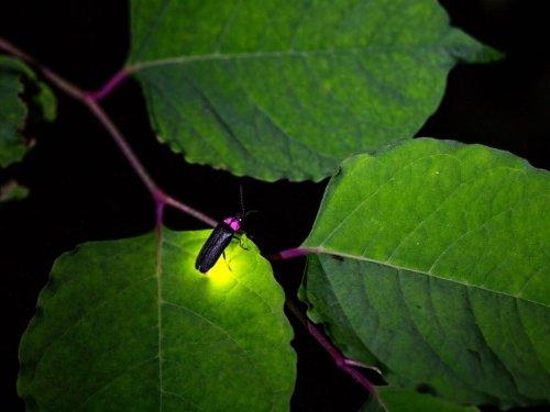 Firefly Vs. Lightning Bug: In Ohio, The Survey Says ...