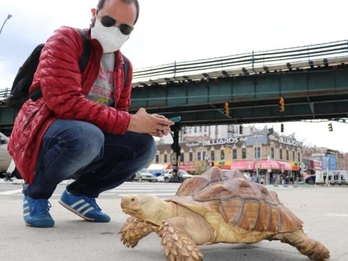 Tortoise Named Crush Struts Its Stuff Down Dyckman: See It