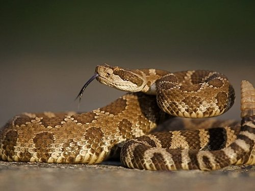 Mission Viejo: How To Identify Gopher, King, And Rattlesnakes