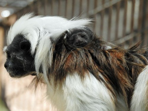 'Critically Endangered' Species Of Monkey Born At Cape May Zoo