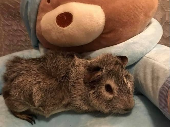 Hopatcong Guinea Pig In New Home After Abandoned By Former Owner