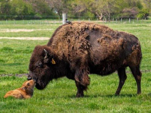 Baby Bison Make Big Arrival in Batavia