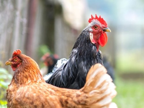 Raising Backyard Chickens In Fredericksburg: 5 Things To Know