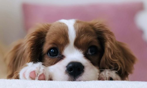 Buyer Beware: The Problem with Puppy Mills and Backyard Breeders | PAWS