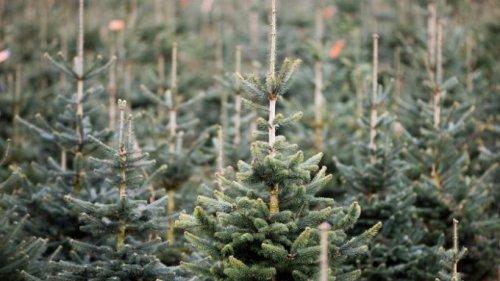 Witterung für Weihnachtsbäume dieses Jahr günstig