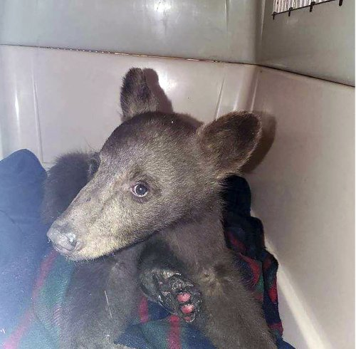 Bear cub burned in wildfire getting nursed back to health at California center
