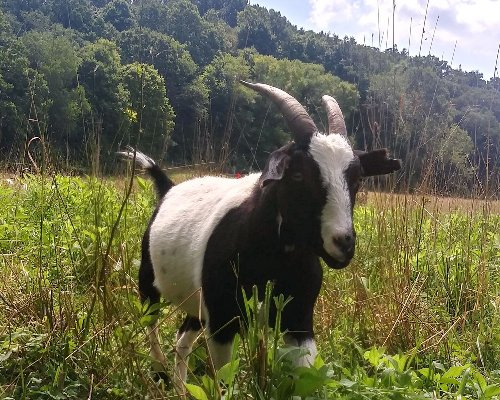 Who let the goats out? Pa. city trying to solve mystery of how its riverbank munchers got loose, blocked traffic